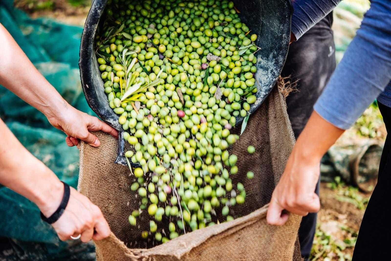 raccolta-olive-in-puglia