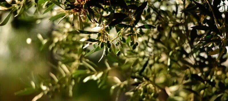 olive-coratine-pugliesi