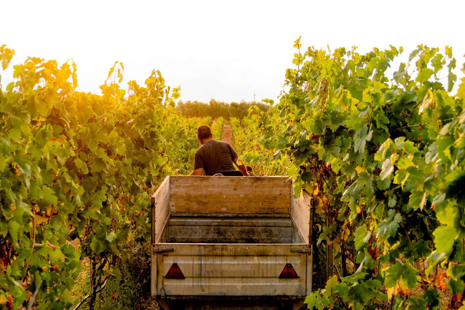 produzione-vini-pugliesi
