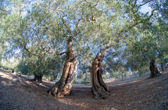 ulivi-secolari-pugliesi